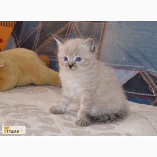 Невские маскарадные котята разных окрасов