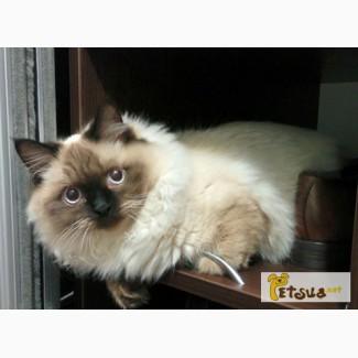 Потерялась кошка невская маскарадная