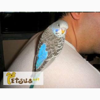 Волнистые попугайчики полностью ручные птенцы
