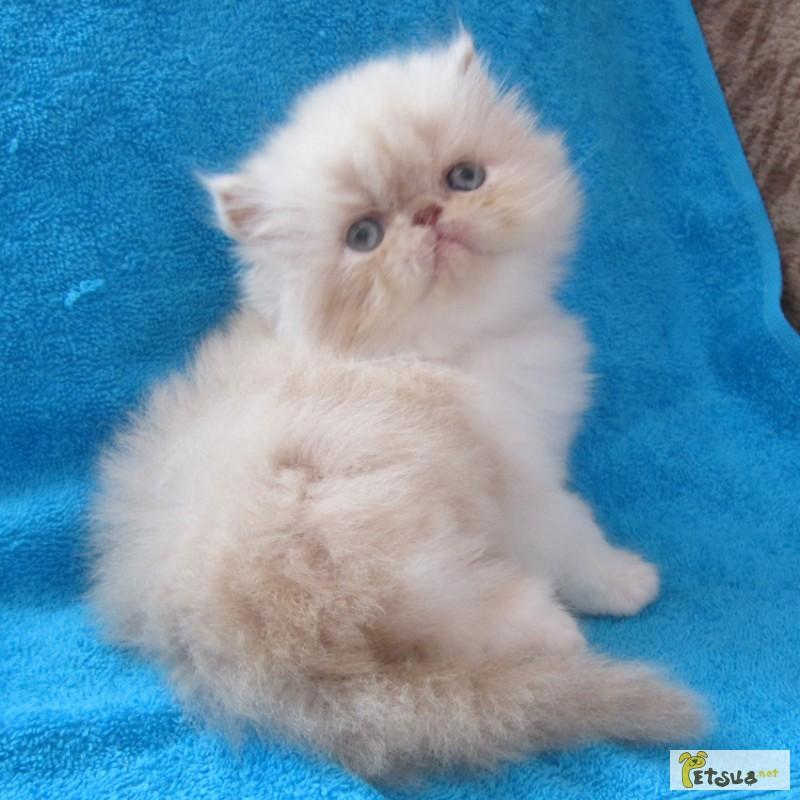 Персидские котята купить тверь