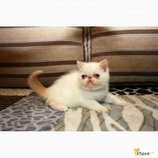 ЭКЗОТЫ. Продажа котят экзотов редких окрасов