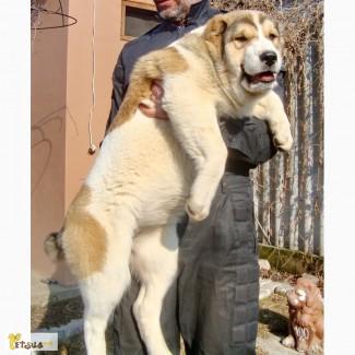 Породные, племенные щенки (суки)АЛАБАЯ КСУ-FCI