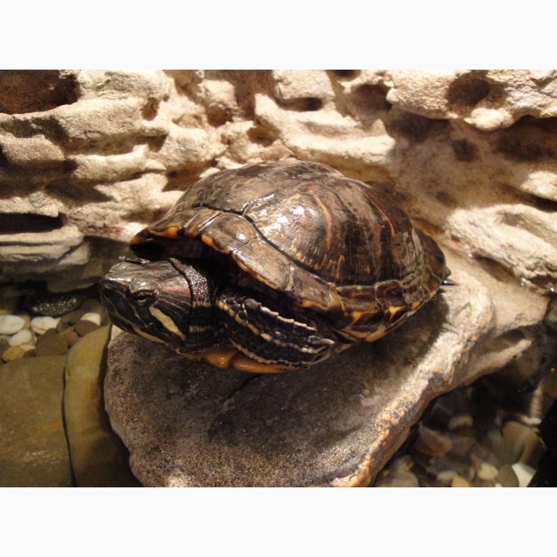 Фото 1/4. Красноухая Черепаха (водная черепаха)
