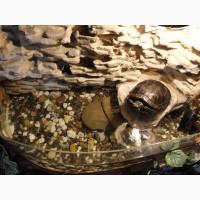 Красноухая Черепаха (водная черепаха)