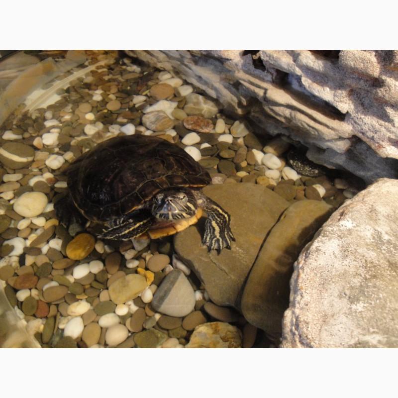 Фото 3/4. Красноухая Черепаха (водная черепаха)