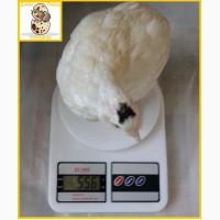 Яйцо перепелиное инкубационное породы Техасский белый - супер бройлер (США)