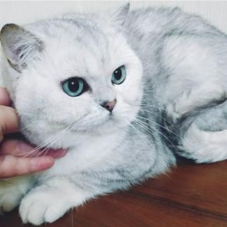 Шикарный британский кот. Пол: мальчик, окрас серебристая шиншилла ns11 с изумрудн