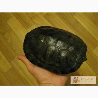 Красноухая черепаха в хорошие руки