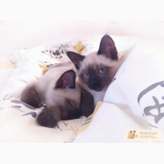 Продам котят породы Тонкинез