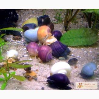Цветные Ампулярии: голубая, белая, розовая, фиолетовая, оливковая, зебра, очень красивые.