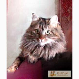 Жаклин – норвежская лесная Кошка-красавица, отдам