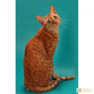 Уральский рекс - кудрявый рыжий котик