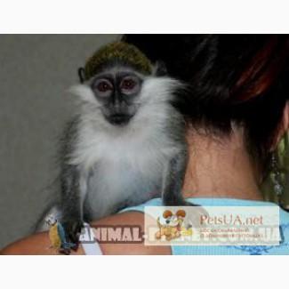 Продаются совершенно ручные обезьянки