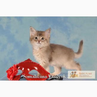 Котята сомали редких окрасов голубой и фавн