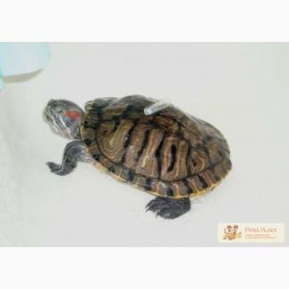 Отдам в добрые руки красноухих черепах