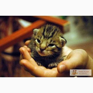 Продам породистого котенка Оцикет