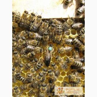 Пчёлы.Пчелиные плодные (меченые) матки. Карпатка.