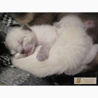 Тайские ( сиамские ) котята