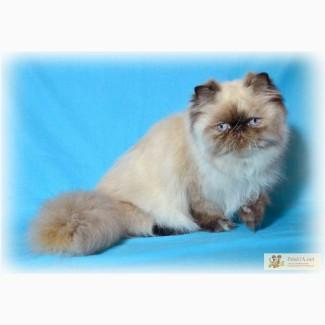 Подрощенная гималайская персидская кошечка