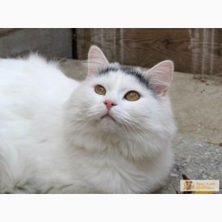 Метис ангорского ,кот 2 кота.