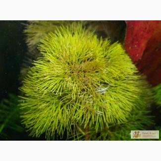Cabomba aquatica (Кабомба кустистая)