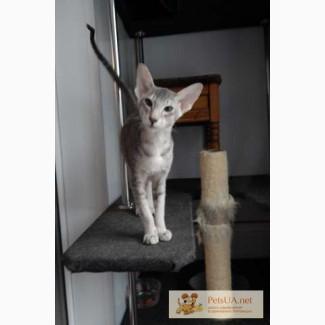 Ориентальный котенок
