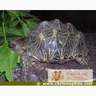 Продаётся сухопутная звездчатая черепаха
