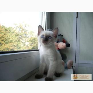 Котенок кошечка Меконгский бобтейл