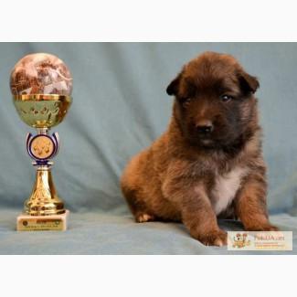 Продам щенков бельгийской овчарки тервюрен