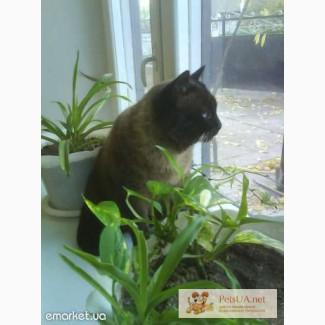 Продам красивых с голубыми глазками сиамско-балинезийских котят.