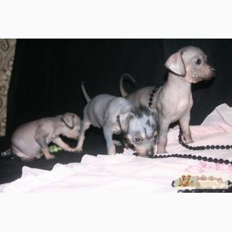 Предлагается к продаже щенки Мексиканской голой собаки Ксоло (мини)