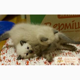 Кошенята балінеза шукають собі родину