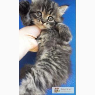 Сибирский котенок девочка