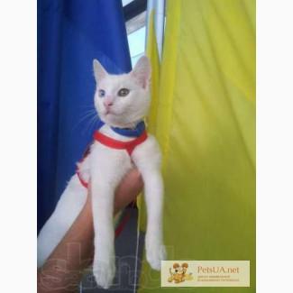 Красавец кот турецкая ангора. Отдадим в хорошие руки