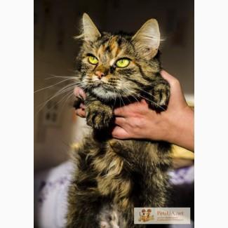 Породистая кошка в Дар