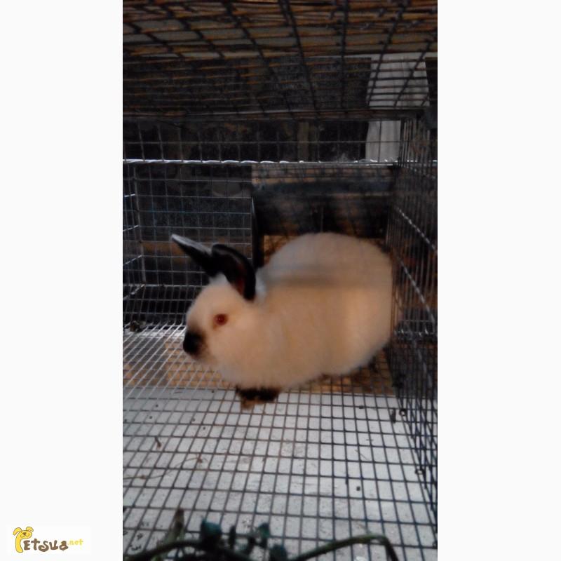 Фото 1/7. Продам кроликов Колифорнийской породы