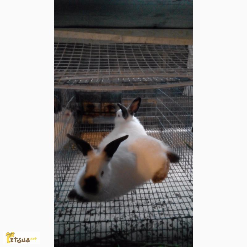 Фото 2/7. Продам кроликов Колифорнийской породы