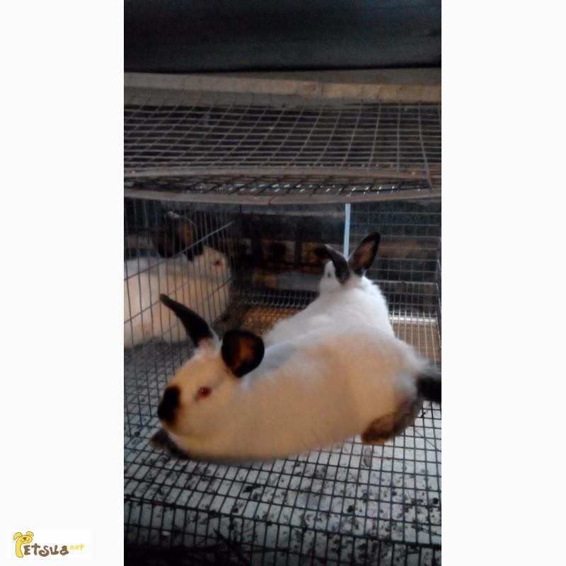 Фото 3/7. Продам кроликов Колифорнийской породы