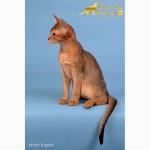 Абиссинские котята Sandy Lion Abyssinian