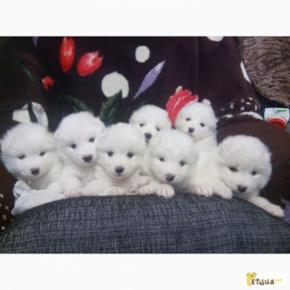 Продам щенков самоедов