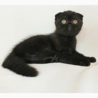 Продам черного вислоухого котенка (девочку), кошечку породы скоттиш фолд (scottish fold) в