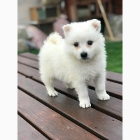 Japanese Spitz puppies