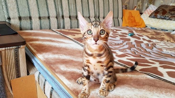Фото 1/3. Бенгальская кошка купить. Бенгальские котята