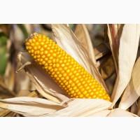 Насіння кукурудзи Амарок 300, посівний матеріал кукурудза