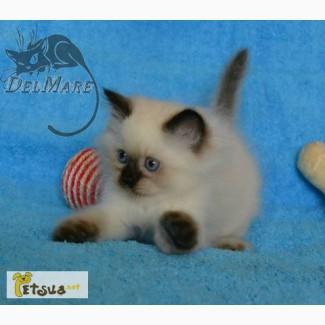 Невские маскарадные котята для души и разведения