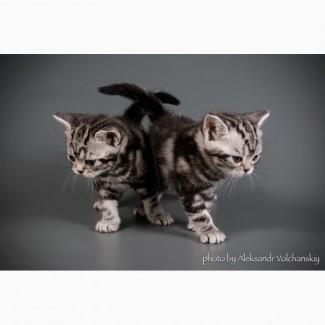 Американская короткошерстная, котята мальчики и девочки