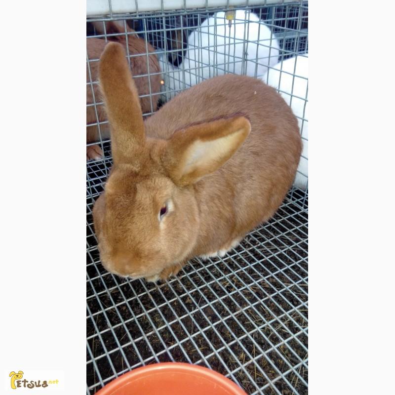 Фото 2/4. Продам кроликов Новозеландский красный