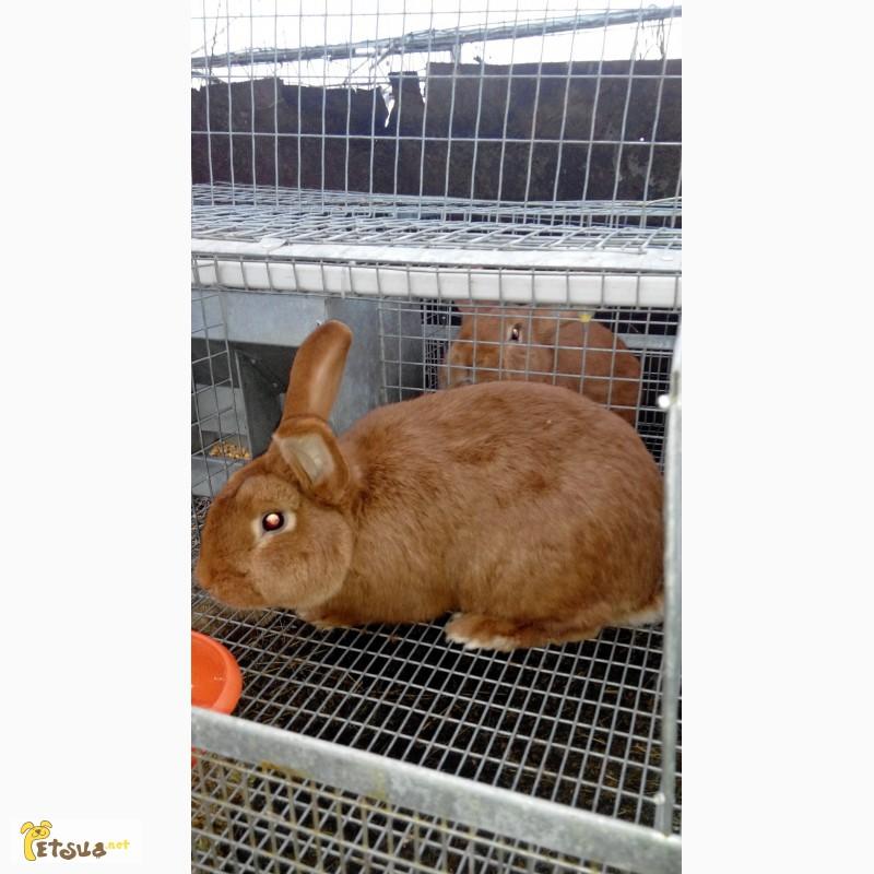 Фото 3/4. Продам кроликов Новозеландский красный