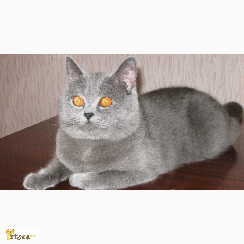 шотландский прямоухий кот фото серый люди получают