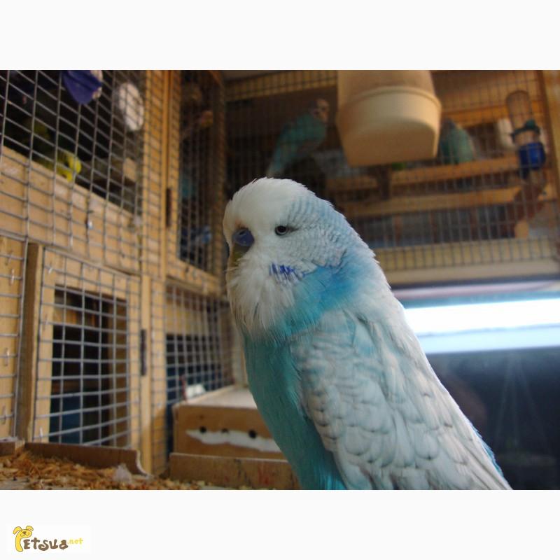 Фото 1/12. Выставочные волнистые попугаи чехи